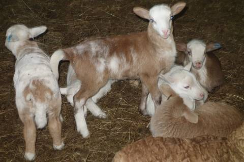 Самые популярные породы овец