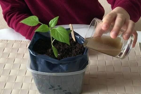 Подкормка перца дрожжами: правила внесения удобрения, эффективночть