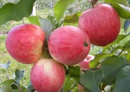 Яблоня карликовая: посадка и уход, обрезка и сорта