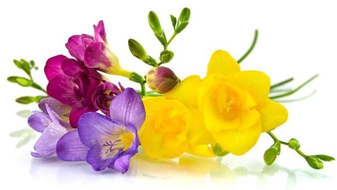 Фрезия цветок — выращивание и уход в саду