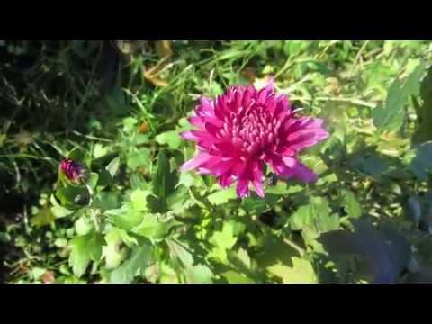 Как правильно выращивать кустовые хризантемы. описание самых красивых сортов
