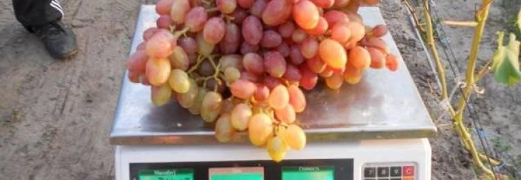 Описание и характеристики, плюсы и минусы сорта винограда краса севера и правила выращивания