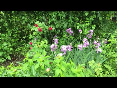 Роза боскобель (boscobel) — описание и характеристики культуры