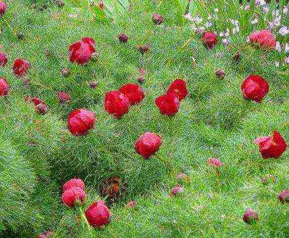 Правила посадки и ухода за пионом древовидным, выращивание и почему не цветет