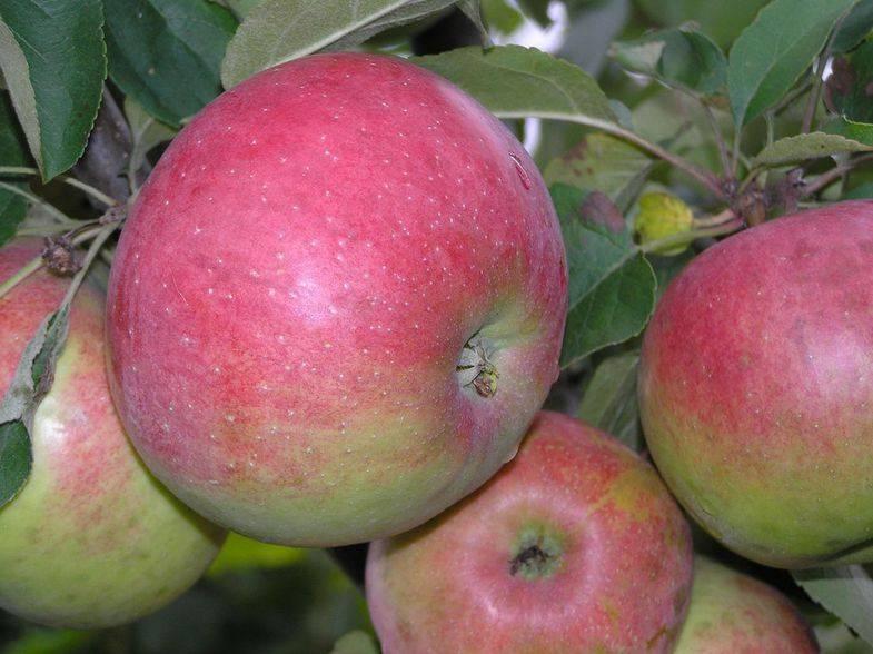 Всё о морозостойкой яблони сорта белорусское сладкое