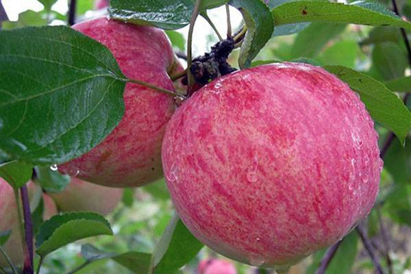 Яблоняароматуктуса