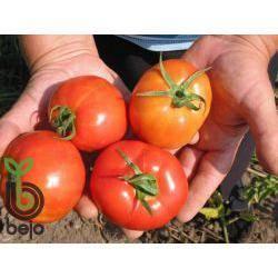 Описание сорта томатов Султан и особенности ухода