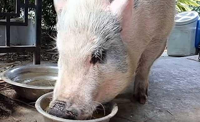 Как запарить комбикорм сухой в гранулах правильно, можно ли кормить вьетнамских поросят