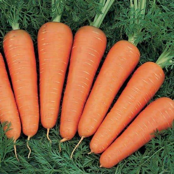 Любимец огородников — морковь балтимор f1. характеристика сорта и правила выращивания