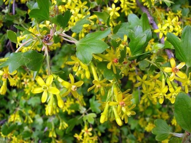 Желтая смородина (золотистая): сорта, уход, размножение
