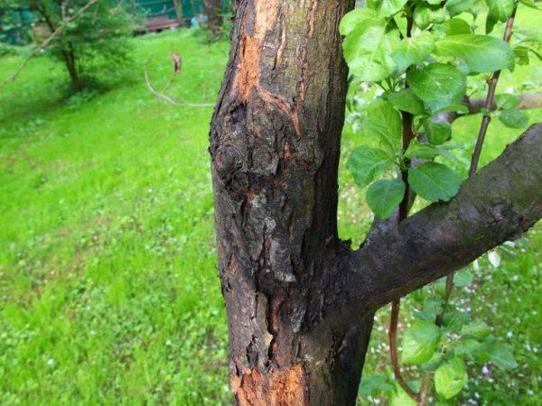 Если появились коричневые пятна на листьях яблони, как лечить — советы агрономов