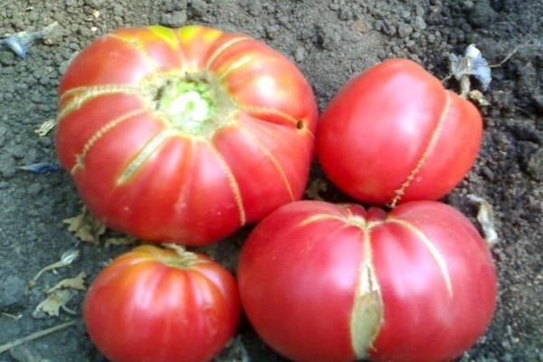 Сорт томатов бабушкино