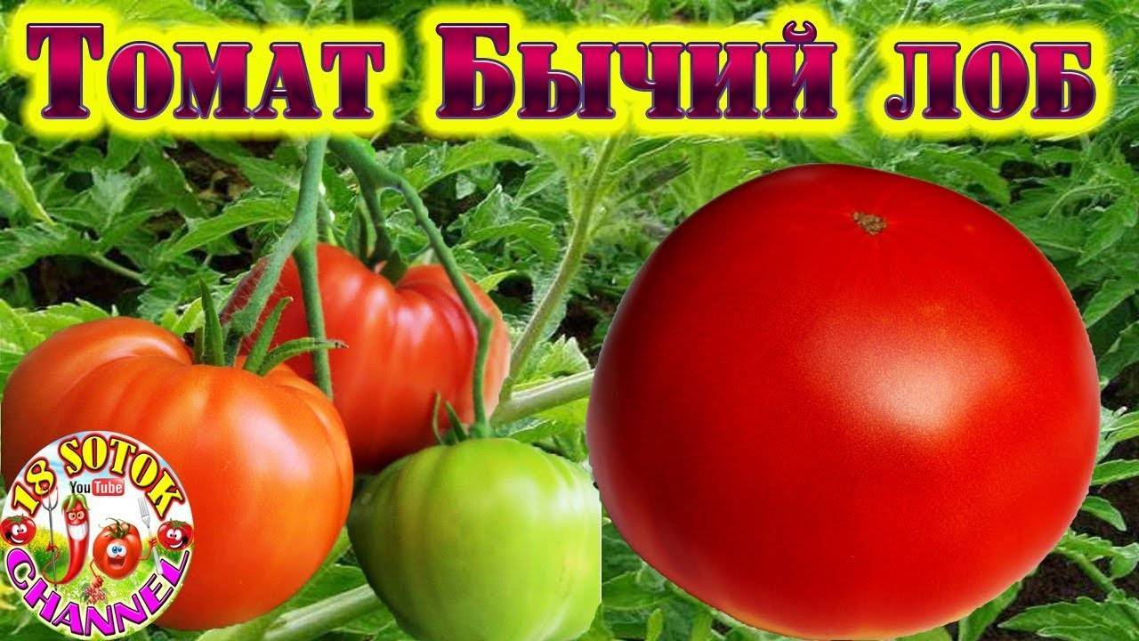 Характеристика и описание сорта томата Бычий лоб