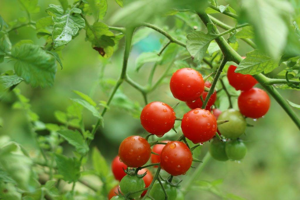 Томат свит черри f1 — типичный представитель помидоров группы черри