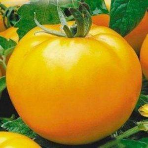 Как выращивать томат «красный гигант»