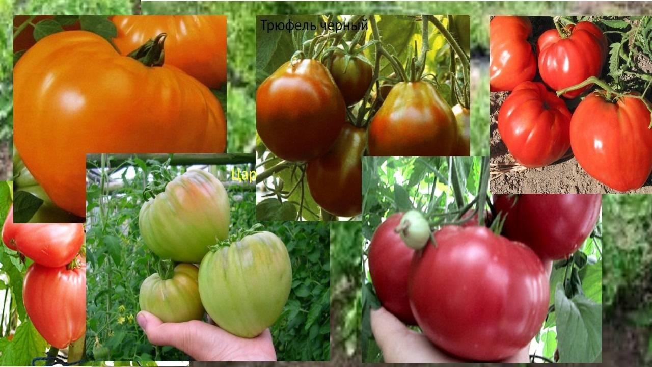 Какие сорта помидор лучше выращивать в краснодарском крае?