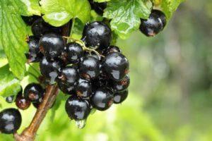 Почему смородина не плодоносит