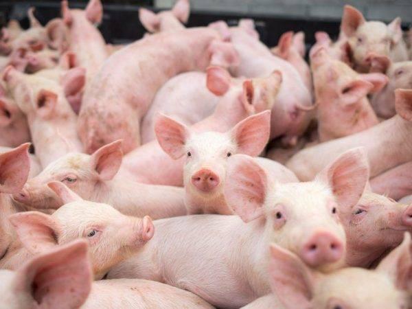 Характеристики и содержание свиней породы мангал