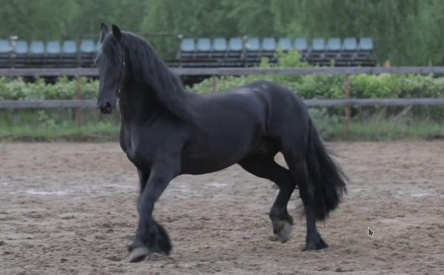 Чёрная жемчужина фрисландии — фризская порода лошадей