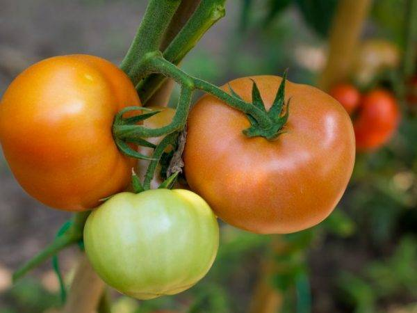 Томат великосветский: характеристика и описание сорта, отзывы, урожайность, фото – все о помидорках