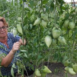 Описание сорта томата корейский длинноплодный, его характеристика и урожайность