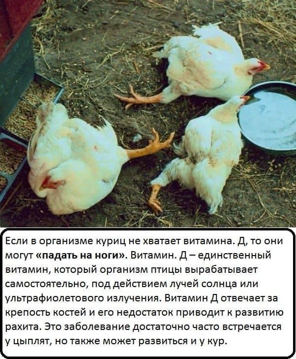 Заболевания кур, сопровождающиеся потерей зрения и гибелью птицы. какие болезни можно лечить, а какие – бессмысленно?