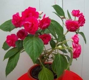 Бальзамин «том самб»: характеристика и выращивание