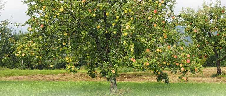 Слава победителям: описание, посадка и уход за яблоней