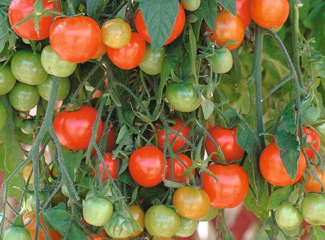 Томат каскад виллидж синий: характеристика и описание сорта, урожайность, отзывы