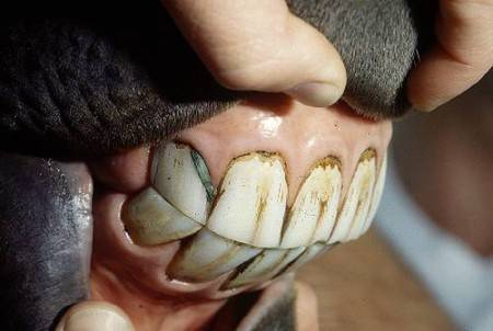 Строение и особенности зубов лошади