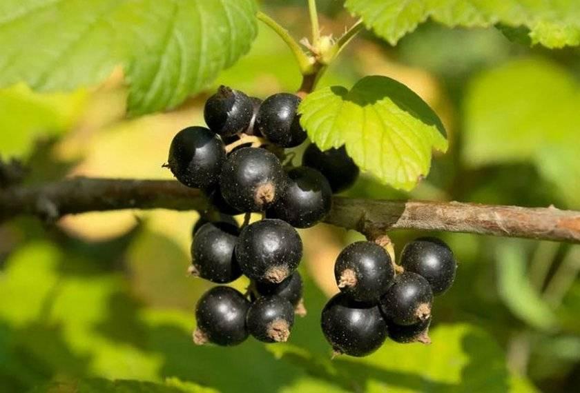Как посадить чёрную смородину