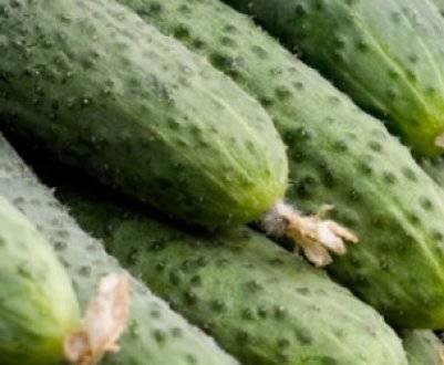 Огурец аякс f1 выращивание