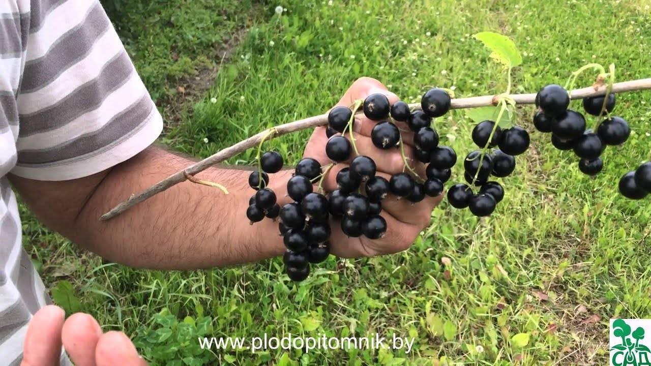 Описание сорта черной смородины добрыня