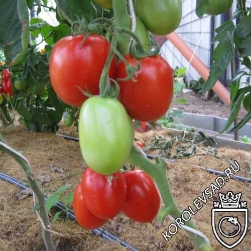 Вкусный томат «фунтик f1»: характеристика и фото с описанием сорта