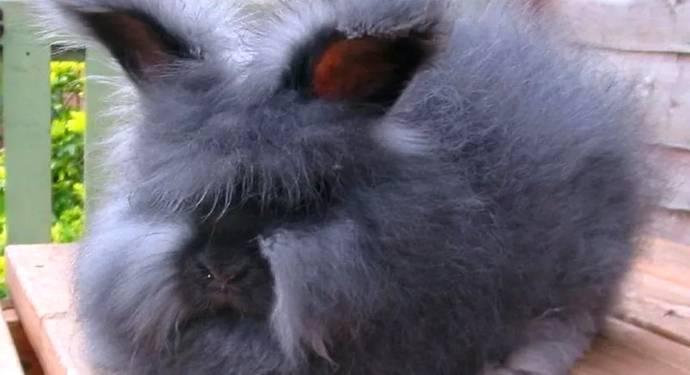 Описание породы ангорский кролик