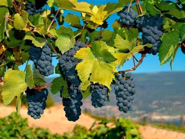 Как бороться с виноградным клещом химическими и народными средствами и чем обработать