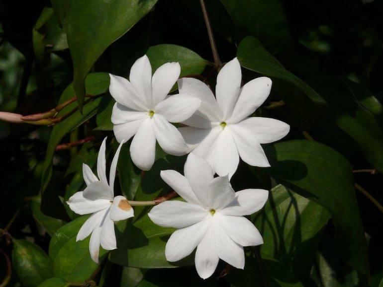 Чубушник (жасмин садовый)