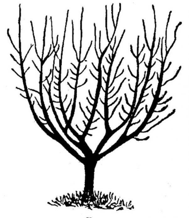 Грамотная обрезка яблони летом: схема и рекомендации