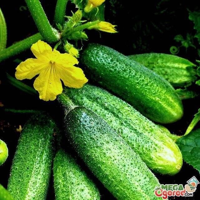 Гибрид огурцов со стабильной урожайностью «конни f1»: фото, видео, описание, посадка, характеристика, урожайность, отзывы