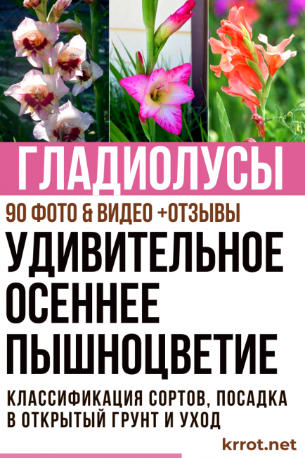 Гладиолусы: описание и особенности выращивания