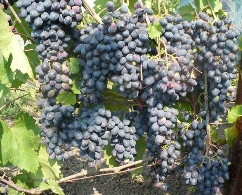 Виноград чарли: выращивание, сортовые особенности, описание и отзывы