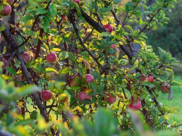 Яблоко с ярко выраженным медовым вкусом — сорт коробовка