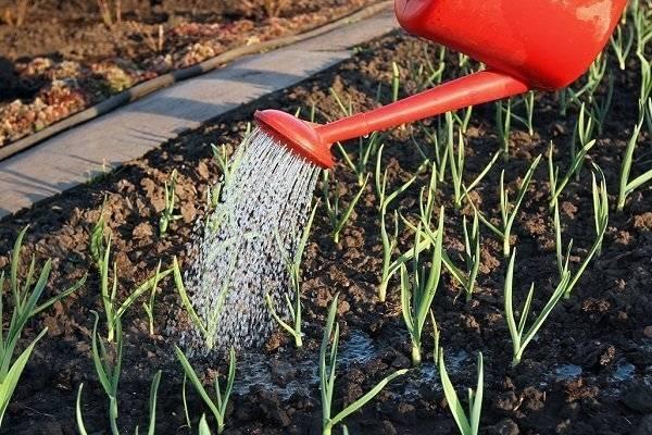 Полив лука на грядке (после посадки и до сбора урожая): правила, схемы, нормы