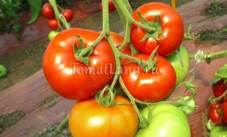 Характеристика и описание сорта томата Красным красно, его урожайность