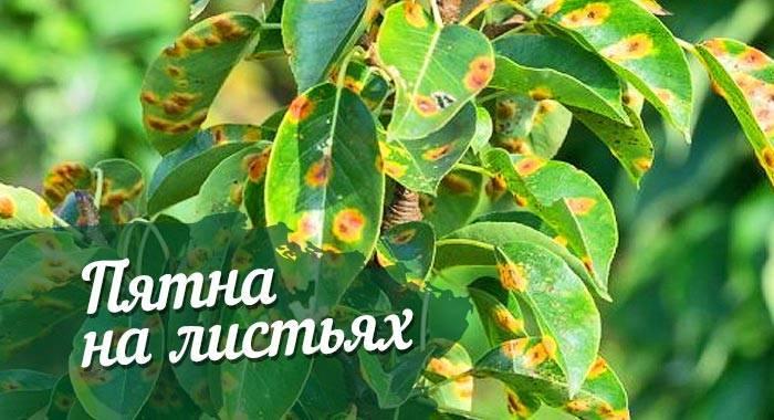 Болезни груши: черные и красные пятна на листьях