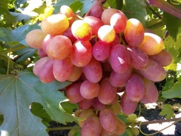 Описание винограда «преображение»