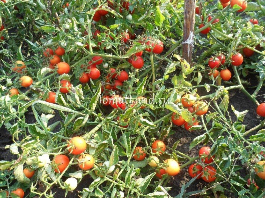 Характеристика и описание сорта томата Иришка, его урожайность