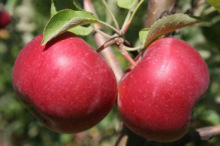 Яблоня айдаред: как вырастить яблоки, хранящиеся до следующего лета