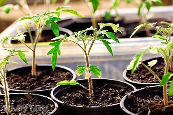 Заболевание томатов черная ножка: своевременная помощь
