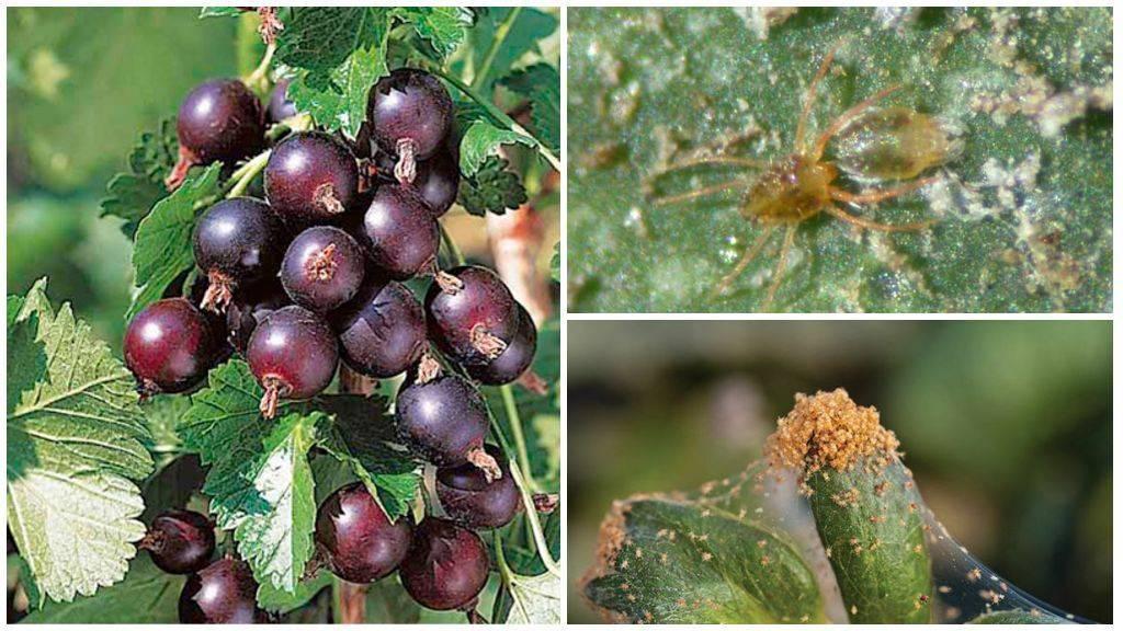 Эффективные способы борьбы с паутинным клещом на смородине